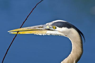 Florida, Venice, Great Blue Heron Holding Nest Material in Beak