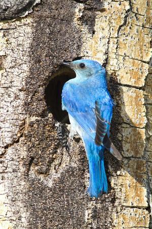 USA, Wyoming, Male Mountain Bluebird at Cavity Nest in Aspen Tree