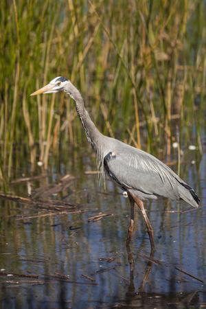 Great Blue Heron on the Prowl in the Reeds