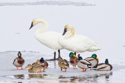 Wyoming, National Elk Refuge, Trumpeter Swan Pair and Mallards
