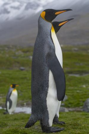 South Georgia. Saint Andrews. King Penguin Mated Pair