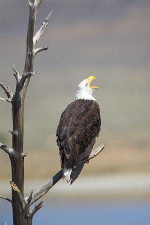 Wyoming, Sublette County, Bald Eagle Calling from Snag