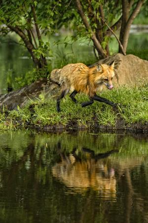 Minnesota, Sandstone, Red Fox Running Along Shoreline