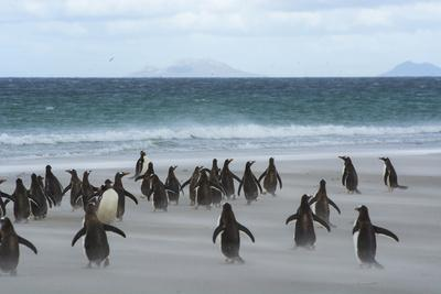 Falkland Islands. Saunders Island. Gentoo Penguins Rush for the Water
