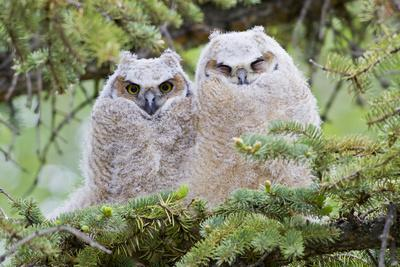 USA, Wyoming, Two Fledged Great Horned Owl Chicks Roosting in Conifer