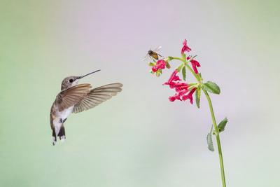 Jeff Davis County, Texas. Black Chinned Hummingbird on Penstemon