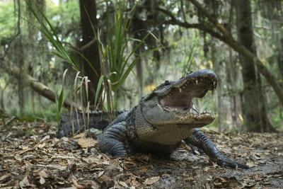 American Alligator in Maritime Forest. Little St Simons Island, Ga, Us