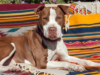American Pit Bull Lying on Blankets
