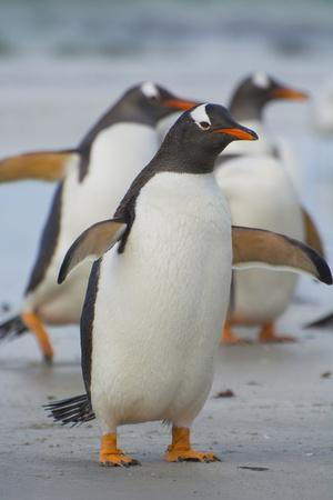 Falkland Islands. Saunders Island. Gentoo Penguin Walking on the Beach