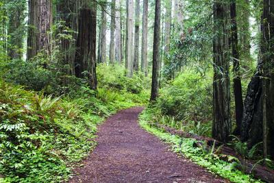Hiking Trail in the Redwoods