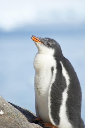 Antarctica. Neko Harbor. Gentoo Penguin Colony. Penguin Chick