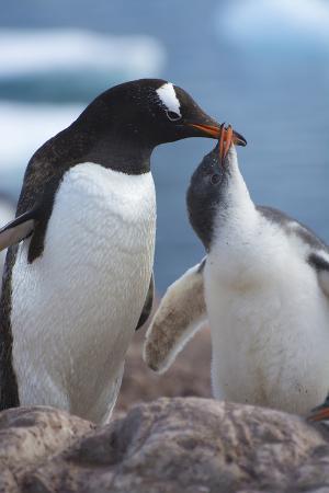 Antarctica. Neko Harbor. Gentoo Penguin Feeding its Chick
