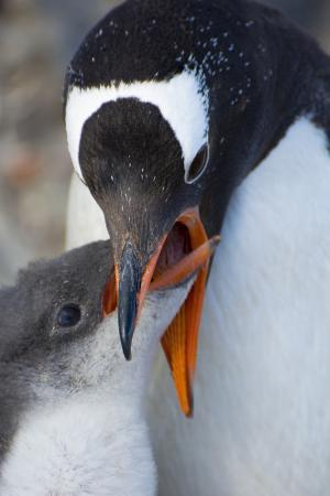 Antarctica. Neko Harbor. Gentoo Penguin Feeding its Chick