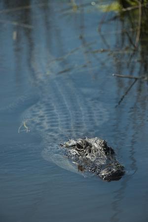 American Alligator Little St Simons Island, Barrier Islands, Georgia