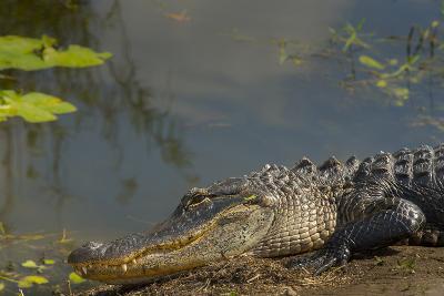 American Alligator on the Anhinga Trail, Everglades National Park, Florida