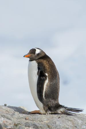 Antarctica. Neko Harbor. Gentoo Penguin, Pygoscelis Papua, Colony