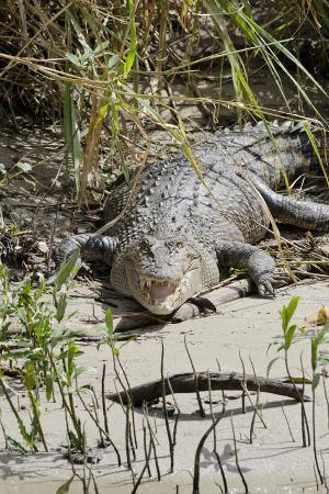 Australia, Queensland, Daintree. Dsaltwater Crocodile