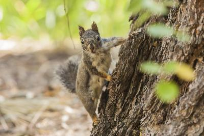 Eastern Sierra Nevada. an Inquisitive Douglas Squirrel or Chickaree