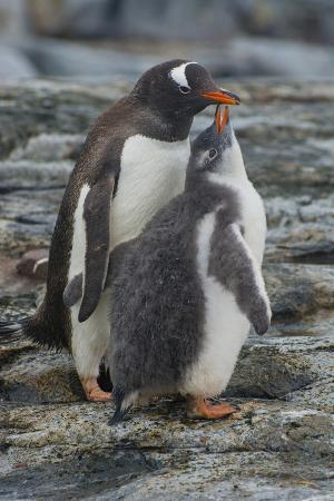 Antarctica. Petermann Island. Gentoo Penguin Chick Begs for Food