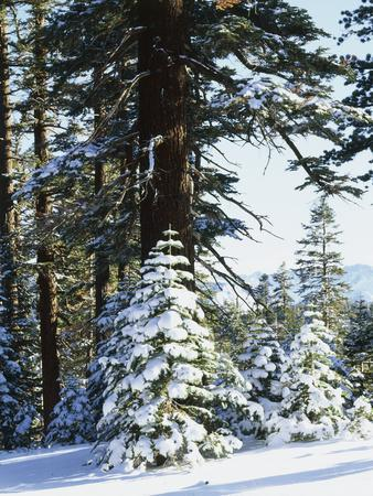 California, Sierra Nevada, Inyo Nf, Snow Covered Red Fir Trees Trees