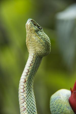Captive Eyelash Viper, Bothriechis Schlegelii, Coastal Ecuador