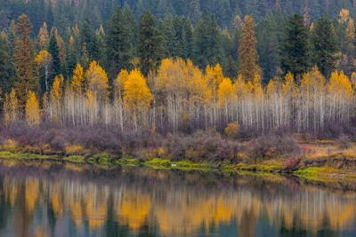 Autumn Aspens Reflect into the Pend Oreille River, Washington