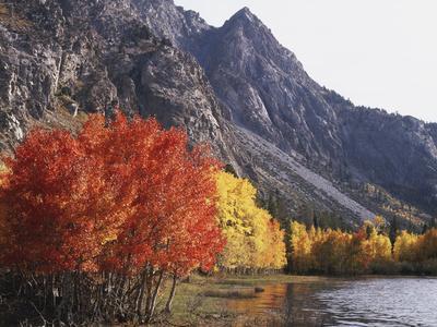California, Sierra Nevada, Red Color Aspens Along Grant Lake, Inyo Nf