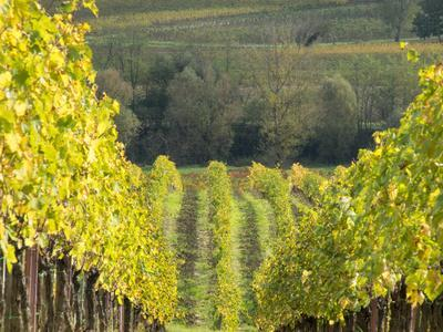 Europe, Italy, Tuscany. Rolling Hills of Vineyard in Autumn Colors