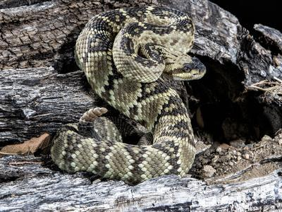 Arizona, Madera Canyon. Black Tailed Rattlesnake Coiled
