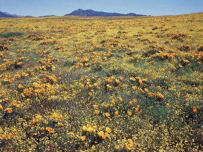California, Cleveland Nf, a Field of California Poppy and Goldfields