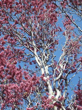 California, Cleveland Nf, a Flowering Redbud Tree in the Forest