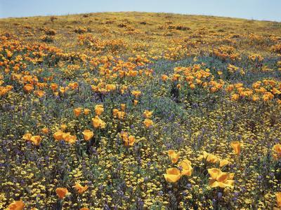California, Cleveland Nf, California Poppy Goldfields and Lupine