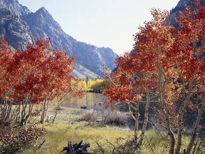California, Sierra Nevada, Red Color Aspens Along Grant Lake, Inyo Nf