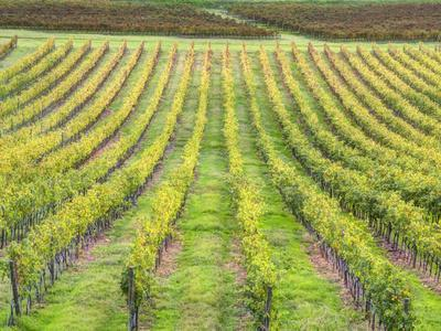 Europe, Italy, Tuscany. Vineyard in Autumn in Tuscany