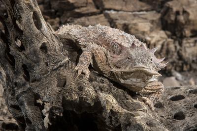 Arizona, Madera Canyon. Close Up of Regal Horned Lizard