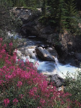 Banff National Park, Mountain Wildflowers Along a Stream