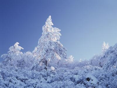 California, Cleveland Nf, Laguna Mountains, a Snow Covered Pine Tree