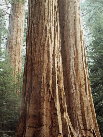 California, Sequoia Nf, Giant Sequoia Redwood Trees