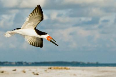 Black Skimmer Bird Flying Close to Photographer on Beach in Florida