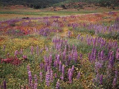 California, Cleveland Nf, Lupine Wildflower Meadow