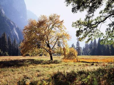 California, Sierra Nevada, Yosemite National Park, Fall Colors of a Black Oak