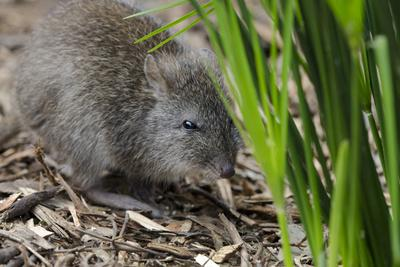 Australia, Adelaide. Cleland Wildlife Park. Long Nosed Potoroo