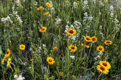 Blanket Flower and Wild Buckwheat in Glacier National Park, Montana