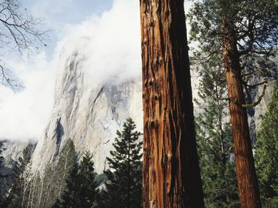 California, Sierra Nevada, Yosemite National Park, Incense Cedar and El Capitan
