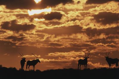 South Africa, Kalahari Gemsbok National Park, Gemsbok at Sunrise