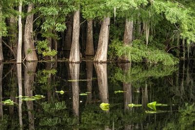 Cedar Trees in Suwannee River, Florida, USA