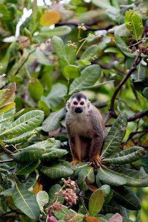 Central American Squirrel Monkeys, Manuel Antonio, Costa Rica
