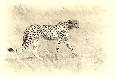 Cheetah, Artistic Version, Walking in Grassland Botswana, Africa
