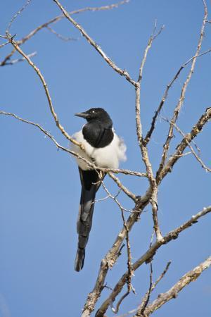 Magpie, Mormon Row, Grand Teton National Park, Wyoming, USA