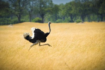 Male Ostrich Running in Dry Grass Trees in Background Botswana Africa